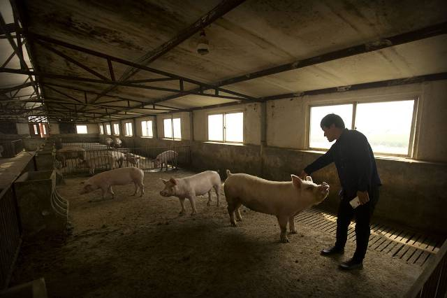Trump tariffs crush U.S. pig farmers